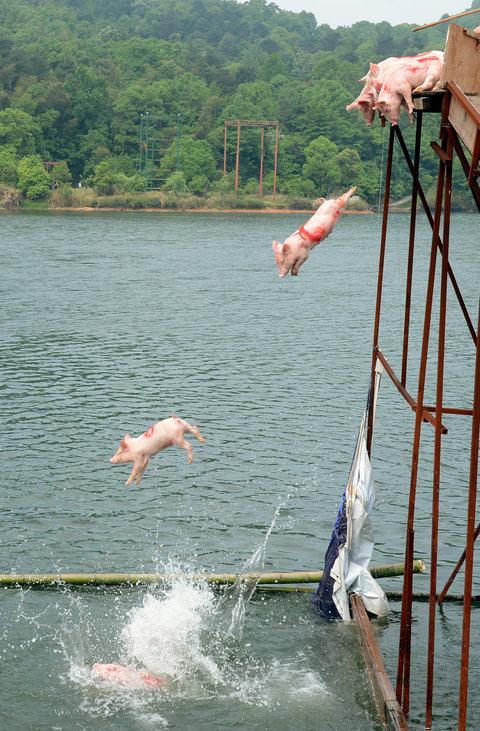 pigs diving